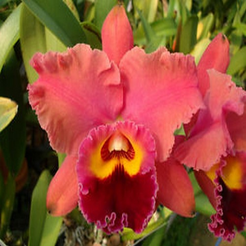 Cattleya chaweewan sunset copier