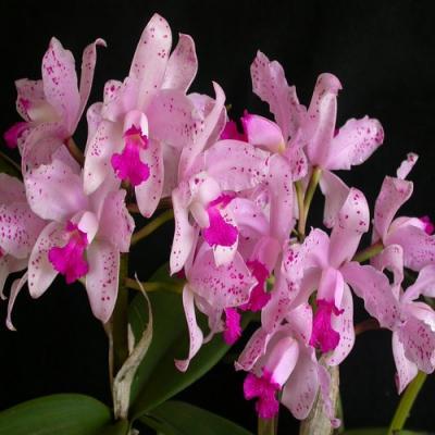 Orchidée Cattleya amethystoglossa