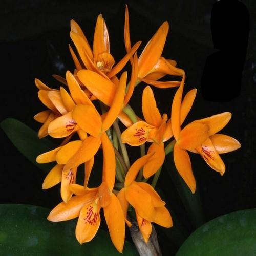 Cattleya aurantiaca 1