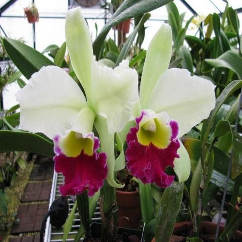 Orchidea Cattleya Blc Pratum Green