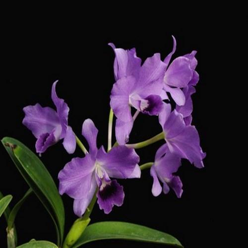 Orquídea Cattleya bowringiana var. coerulea