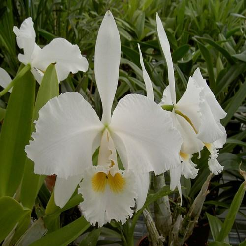 Orquídea Cattleya Brenola