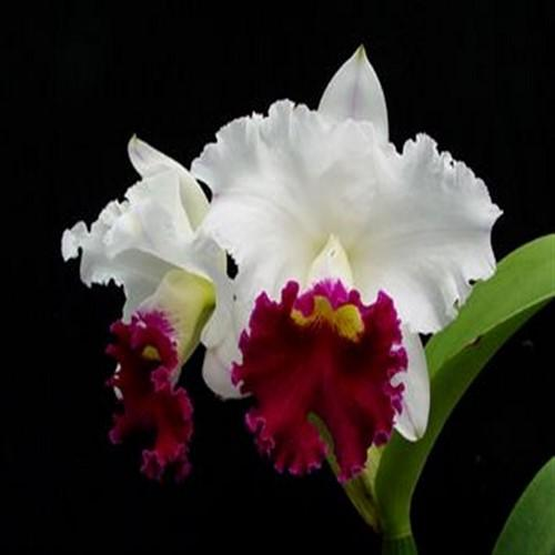 Orquídea Cattleya chyong guu swan