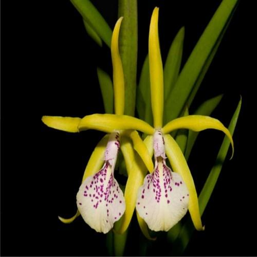 Orchidea Cattleya Ethyle