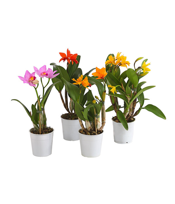 Achat vente orchid e cattleya hybride fleurie for Fleurs vente