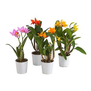 Cattleya fleurie vente orchidee