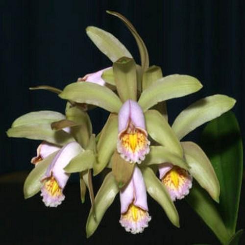 Orchidee Cattleya forbesii
