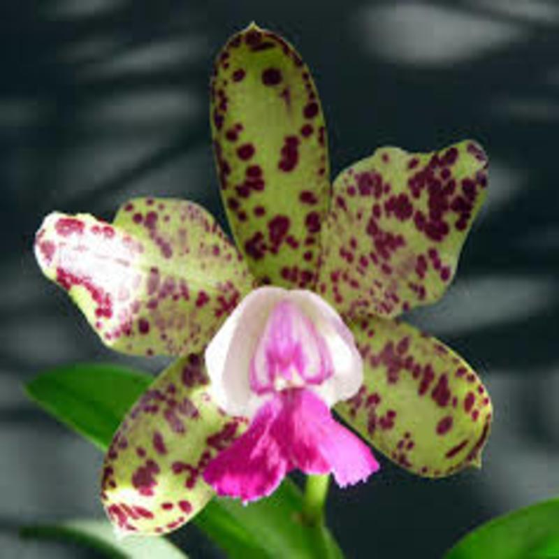 Cattleya green emerald orchid queen 1