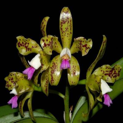Orchidée Cattleya guttata