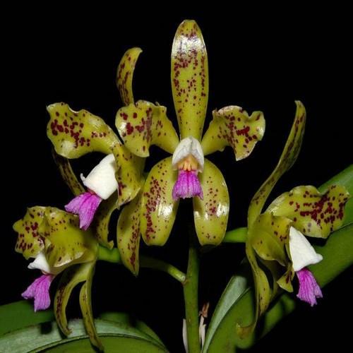 Orchidee Cattleya guttata