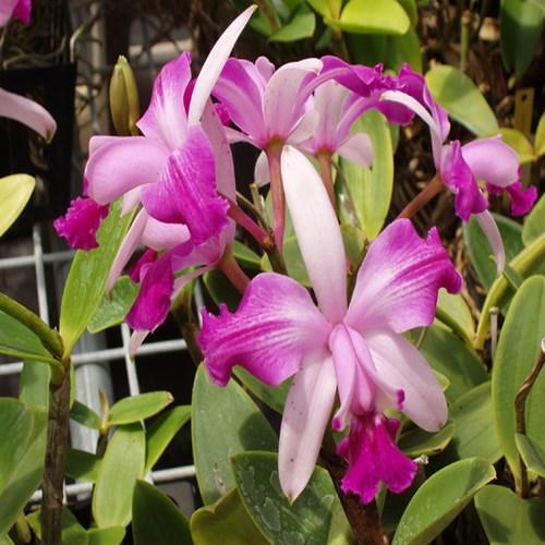Orquídea Cattleya intermedia aquinii var. rubra