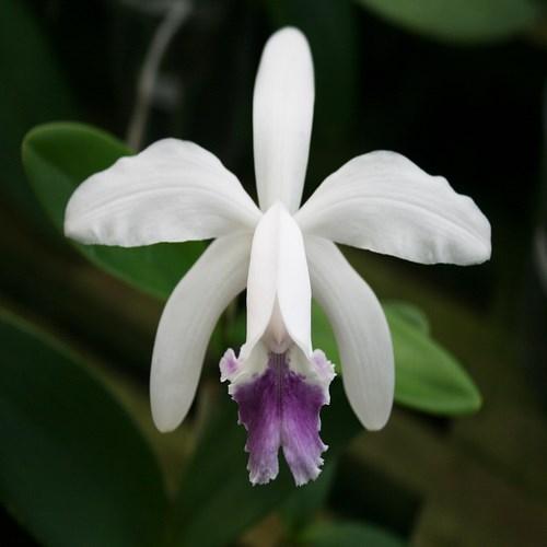 Cattleya intermedia coerulea en vente