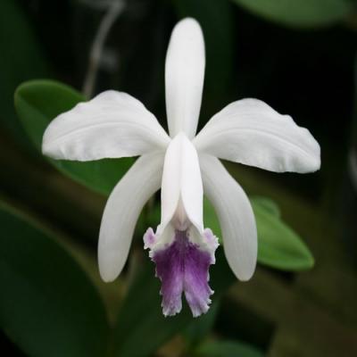 Orhidee Cattleya intermedia coerulea