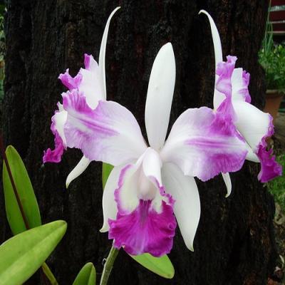 Orchid Cattleya intermedia var. aquinii