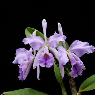 Orquídea Cattleya jenmanii var. coerulea