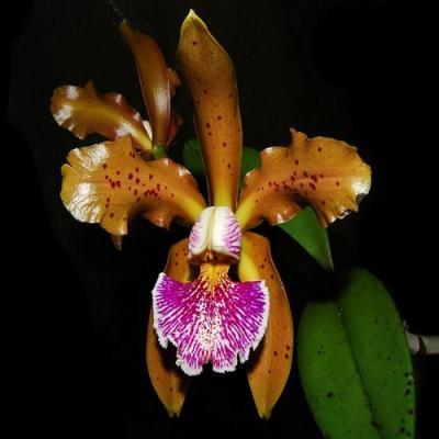 Cattleya kerchoveana adulta orchidee vente achat