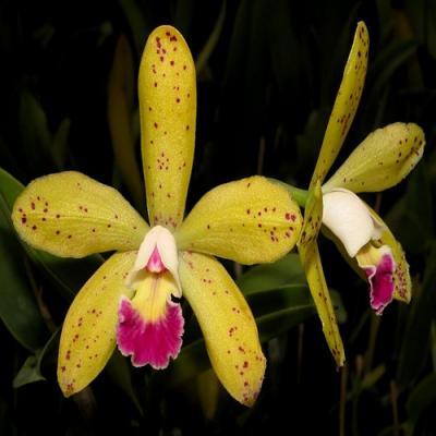 Orquídea Cattleya mariechen
