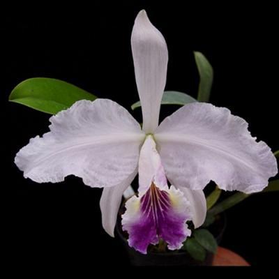 Orquídea Cattleya lueddemanniana coerulea