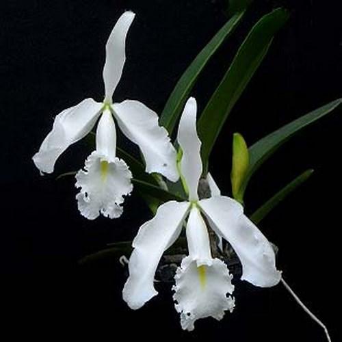 Cattleya maxima v alba vente orchidee