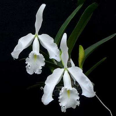 Orchidée Cattleya maxima v. alba