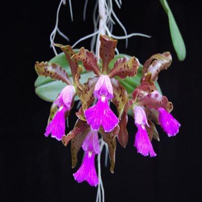 Cattleya peckhaviensis orchidee vente achat
