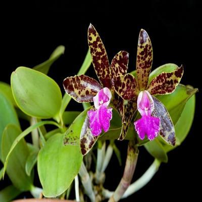 Orchidée Cattleya pradit spot