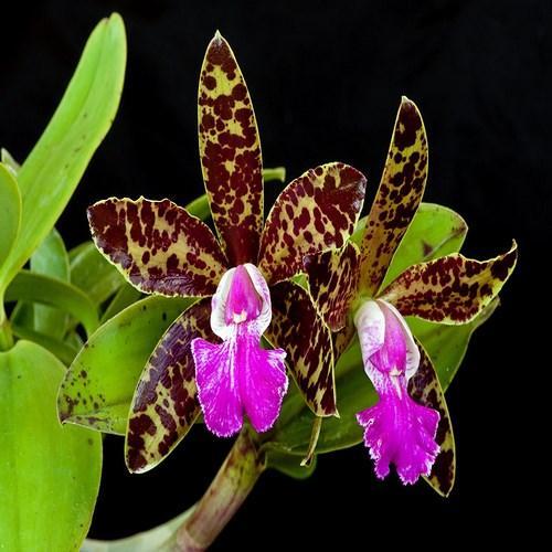 Orchidee Cattleya pradit spot