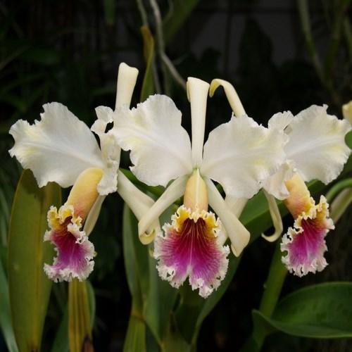 Orquídea Cattleya rex