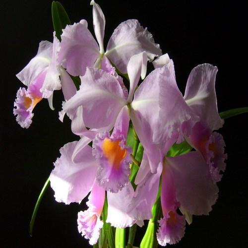 Orchidee Cattleya schroederae