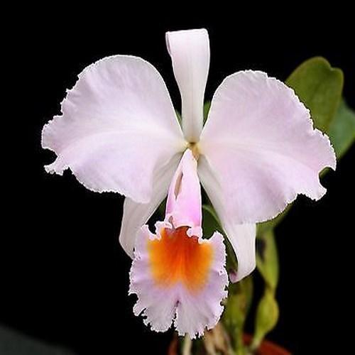 Orquídea Cattleya schroederae