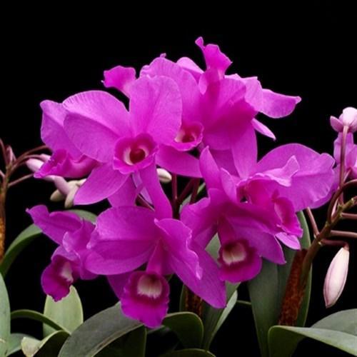 "Orquídea Cattleya skinneri ""Heiti Jacobs"