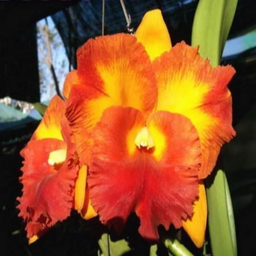 Orchidea Cattleya suvarnabhumi delight