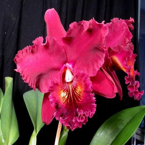 Orchidea Cattleya chia lin