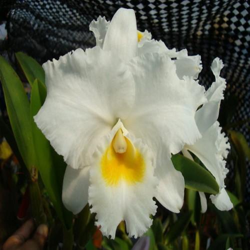 Orchidea Cattleya white diamond