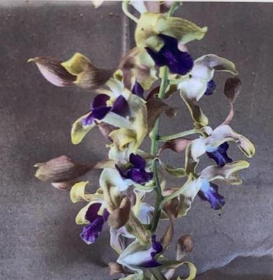 Orchidea Dendrobium Twist 127