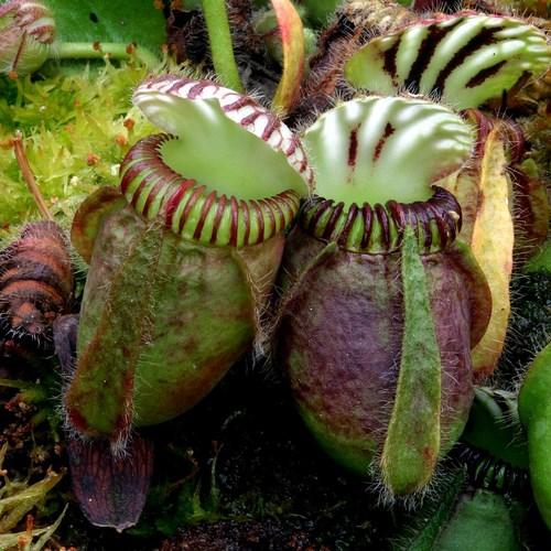 Cephalotus follicularis