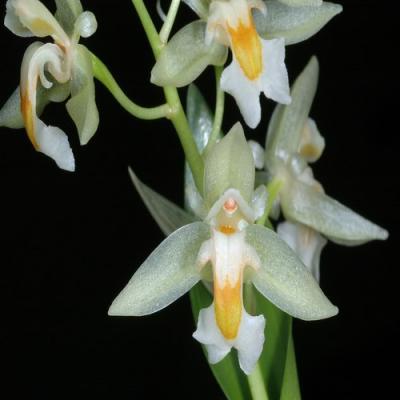 Orchidée Chelonistele sulphurea
