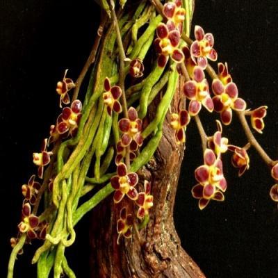 Chilochista lunifera red orchidee vente