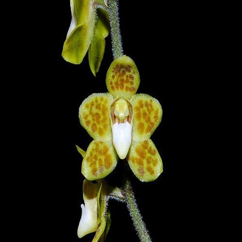 Orchid Chilochista sweelimii