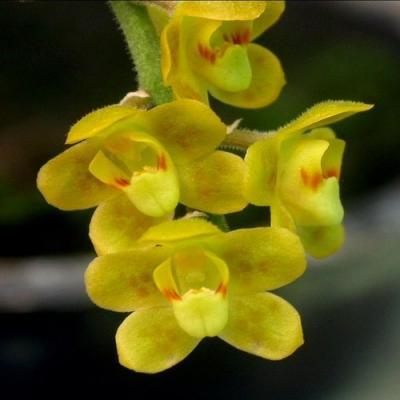 Orchidée Chiloschista parishii