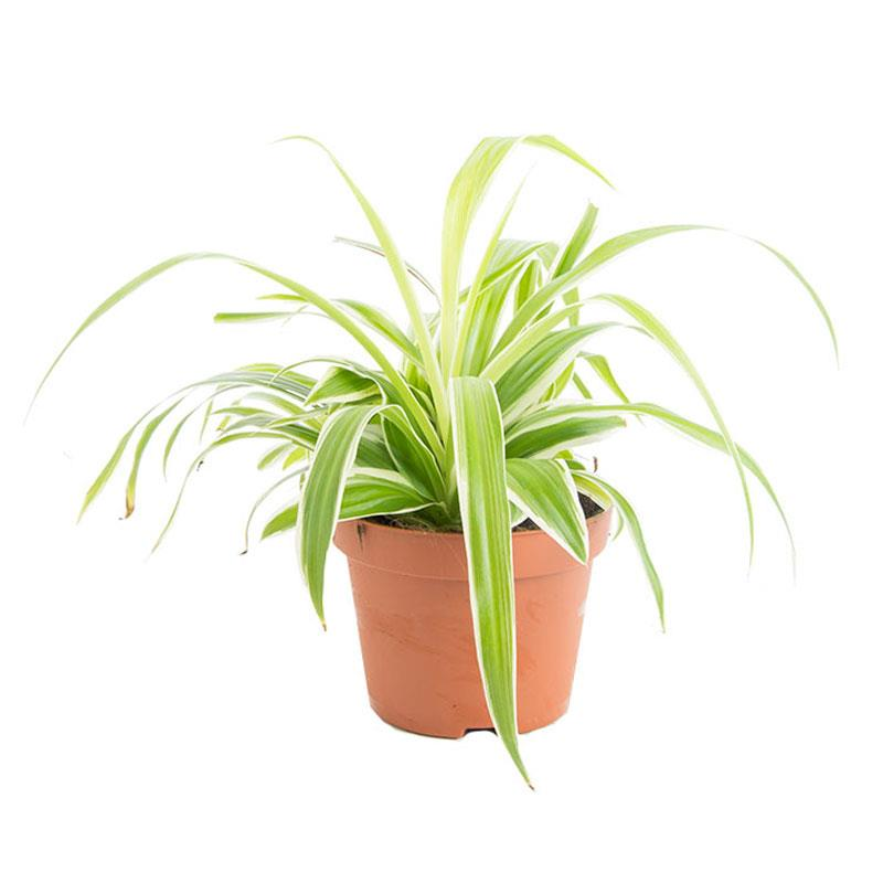 Chlorophytum laxum a vendre