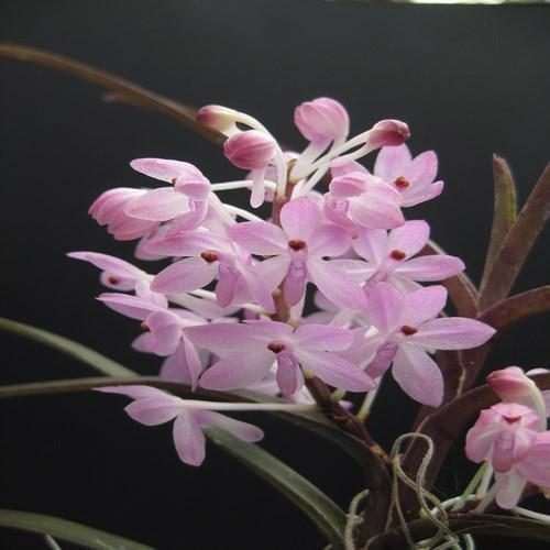 Orquídea Ascocentrum christensonianum