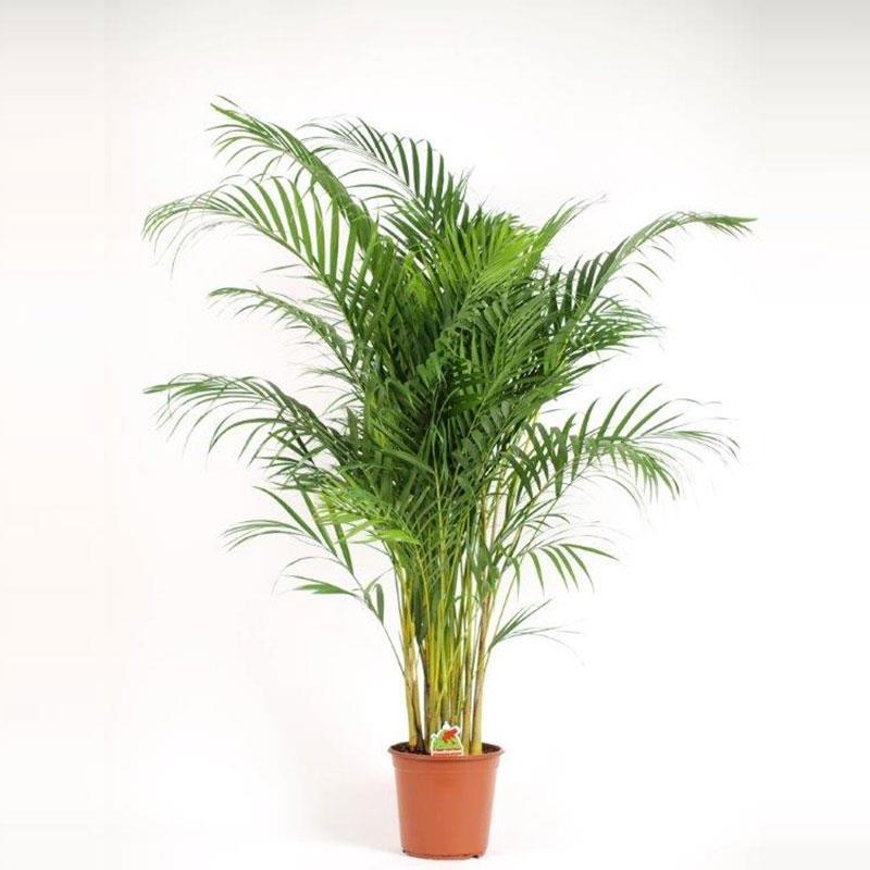 Chrysalidocarpus lutescens a vendre