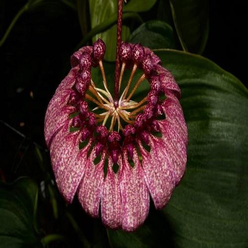 Orchid Bulbophyllum Cirrhopetalum eberhardtii