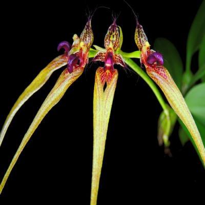 Orchidée Bulbophyllum Cirrhopetalum ornatissimum