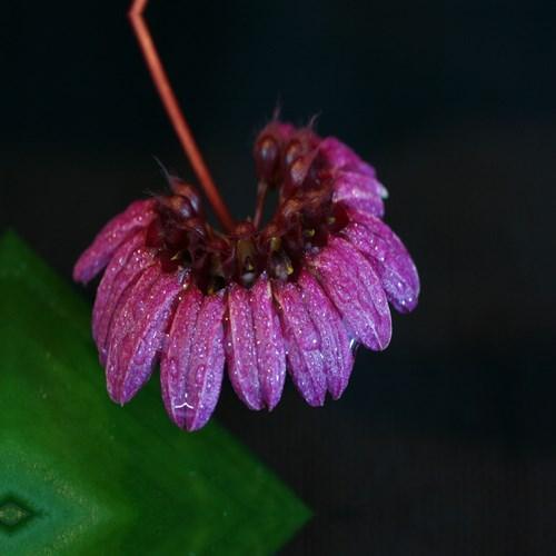 Orchid Bulbophyllum Cirrhopetalum pulchellum var. purpureum