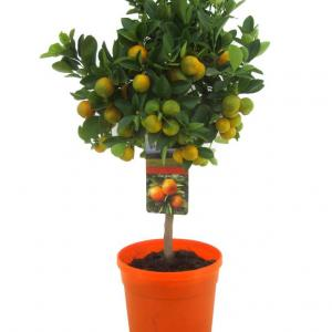 Citrus calamondin on trunk 70 cm