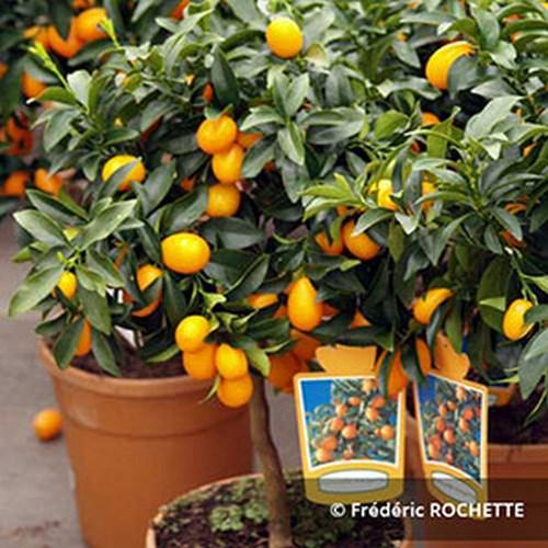 Citrus fortunella kumquat citronier a vendre