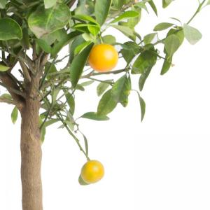 Citrus mitis calamondin oranger d appartement agrume decoration deco