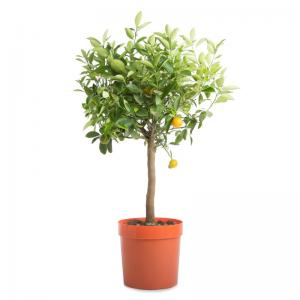 Citrus mitis calamondin oranger d appartement agrume decoration